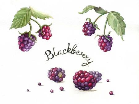 Blackberries, watercolor painting Stock Photo