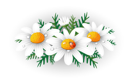 margriet: Chamomiles.