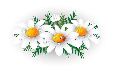 chamomile flower: Chamomiles.
