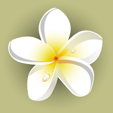 frangipani flower: White plumeria (Frangipani). Isolated.