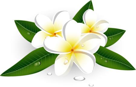 frangipani flower: White plumeria (Frangipani) over white.  Illustration
