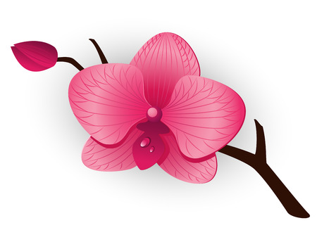 Beautiful pink Orchid over white. Vector