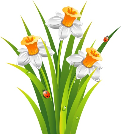 Daffodils with ladybirds in the grass  over white.  Illustration