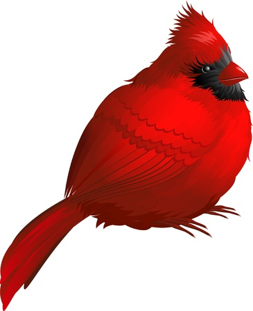 Cardinal bird isolated on white. EPS 8 Ilustracja