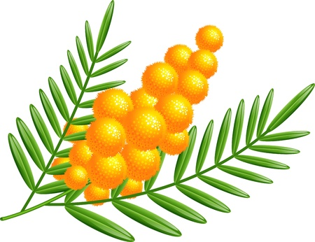 mimosa: Branch of mimosa over white. EPS 10
