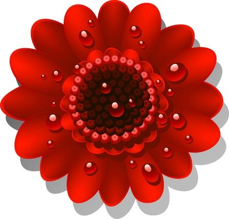 gerber daisy: Beautiful red Gerber Daisy with dew drops