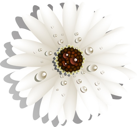Beautiful White Gerber Daisy with dew drops Vector
