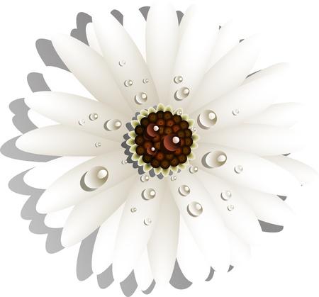 gerber daisy: Beautiful White Gerber Daisy with dew drops