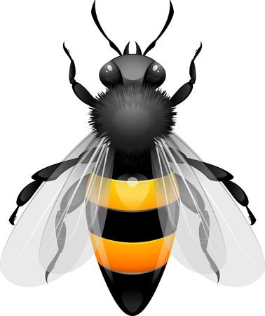 Honey Bee na białym tle. Ilustracje wektorowe