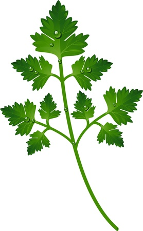 potherb: Branch of parsley over white.