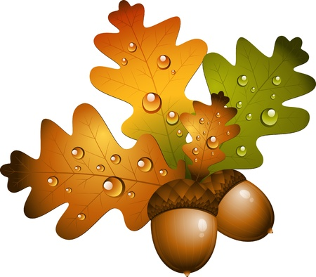 Oak branch with acorns over white. EPS 10