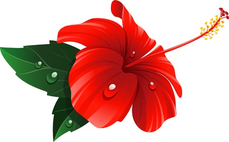 Red hibiscus flower over white.