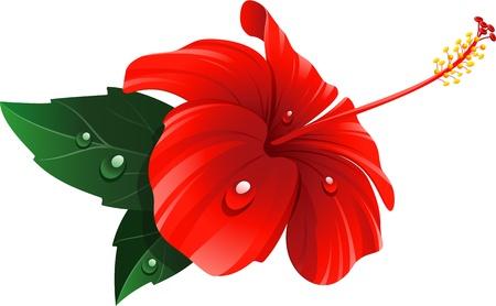 beautiful red hibiscus flower: Flor roja del hibisco en blanco.