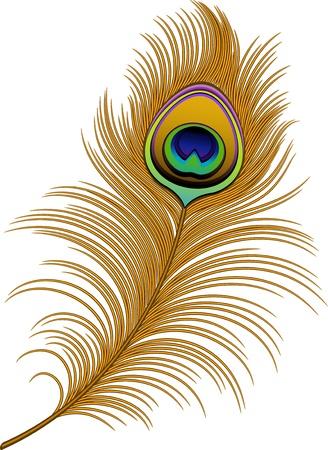 pluma de pavo real: Pluma del pavo real en blanco.