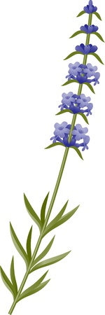 Sprig of lavender blossoms on a white background