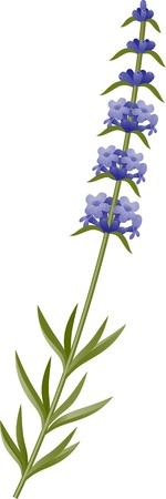fiori di campo: Rametto di fiori di lavanda su sfondo bianco