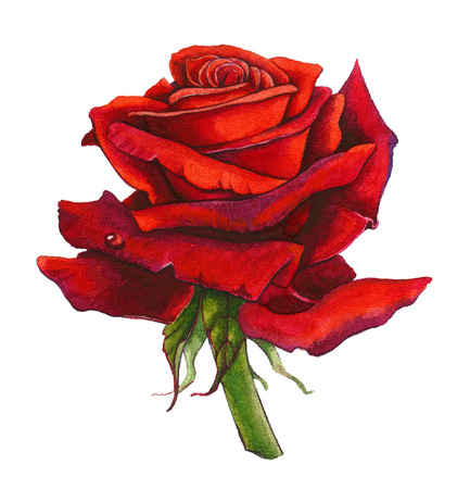 painted image: Red Rose isolated on white. No shadows. Watercolor