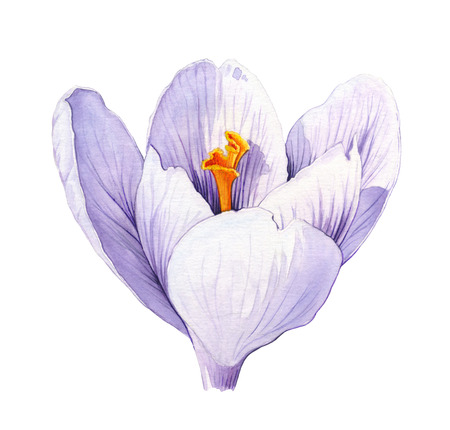 crocus: Crocus. Watercolor illustration on white background