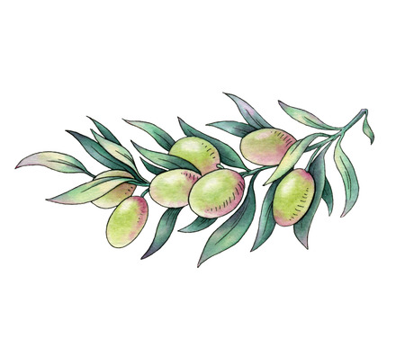 Olive branch. Watercolor illustration on white background illustration