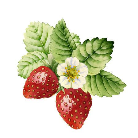 Strawberry made with watercolors on white background