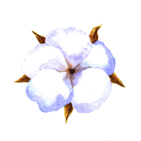boll: Cotton plant. Watercolor illustration on a white background