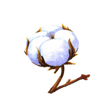 cotton plant: Cotton plant. Watercolor illustration on a white background