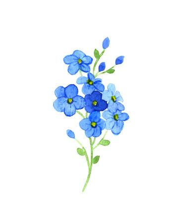 fiori di campo: Me-nots fiori su uno sfondo bianco. Acquerello