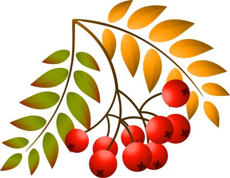 raceme: Rowan branch on a white background Illustration