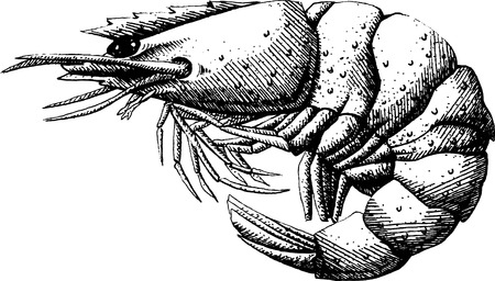 prawn: Shrimp on a white background Illustration