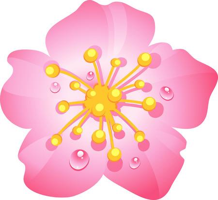 stamen: Pink cherry flower with dew drops. eps 10