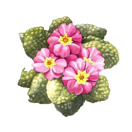 colour image: primrose, watercolor illustration on a white background Stock Photo