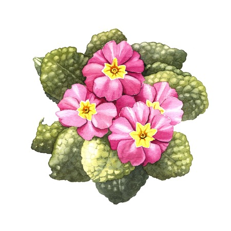primrose, watercolor illustration on a white background Stock Photo