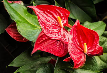 Anthuriums: The red, heart-shaped flower of Anthuriums is really a spathe or a waxy, modified leaf flaring out from the base of a fleshy spike Stok Fotoğraf