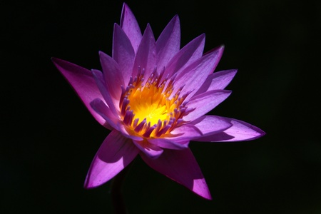 LotusThe growing popularity of the Thai people worship the lotus.