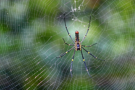 cobwebby: Black spider is common in all forests in Thailand are easy to find. Stock Photo