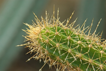 Cactus with the morning dew. It has sharp thorns. But the dew from the island. I do not do it lightly.