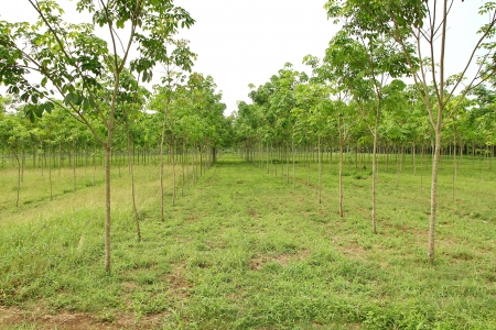 Wood perennial plant popular in Thailand latex products are used as much Rubber wood furniture  Stock Photo