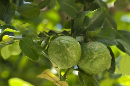 Bergamot is used to make herbal medicines and food  photo