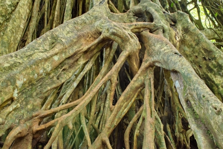 Large roots can be seen in the rainforests of Asia, particularly Thailand, Khao Yai National Park Land  Stock Photo - 20338533