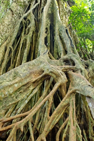 Large roots can be seen in the rainforests of Asia, particularly Thailand, Khao Yai National Park Land  Stock Photo - 20338532