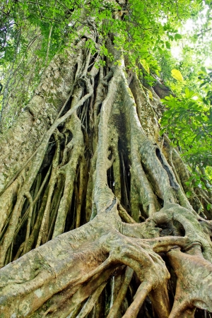 Large roots can be seen in the rainforests of Asia, particularly Thailand, Khao Yai National Park Land