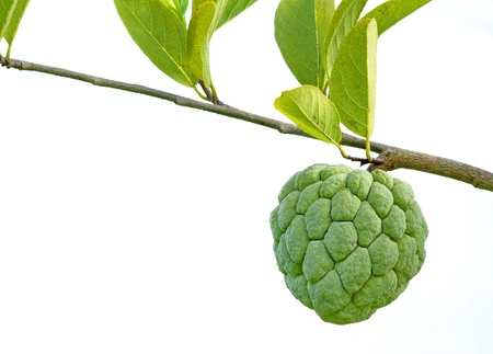 Custard apple fruit is delicious. Are perennial. Has grown in Thailand. photo