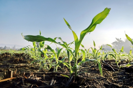planted: Seedling corn in the season when it rains. Farmers have planted.