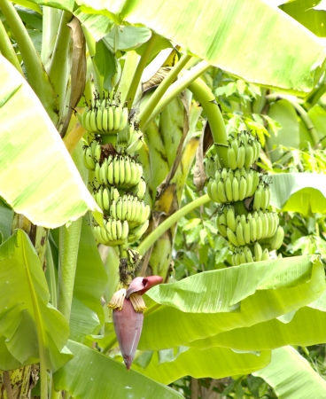 Banana plant is native to Asia and the stems, leaves, flowers, fruit and food parcels as well. Safety of chemicals. Stock Photo