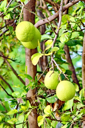 The grapefruit tree is edible. The fruit has a taste of the tracks like an orange but is larger than
