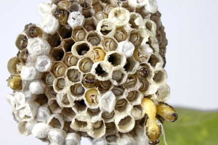 pupation: Wasps nest created Cultured embryos Thrive Inherited variants further Stock Photo