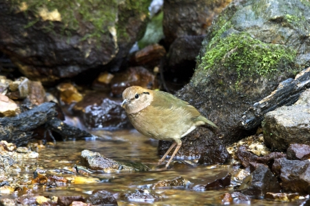 rusty naped pitta bird feeding is low near the ground  Eating worms and insects as food (Mae Wong National Park, Thailand)