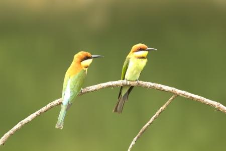 Chestnut-headed Bee-eater: Merops leschenaulti birds in Khao Yai National Park, Thailand Nature Island. Stock Photo