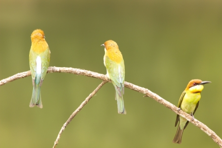 Chestnut-headed Bee-eater: Merops leschenaulti birds in Khao Yai National Park, Thailand Nature Island. Stock Photo
