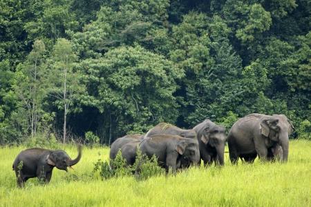 Khao Yai National Park, Thailand elephant eat a lot of deals together in the rainy season.